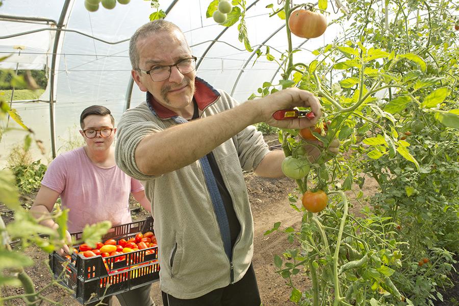 zwei Personen beim Tomatenernten
